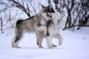 alaskan-malamute-puppies-in-the-snow